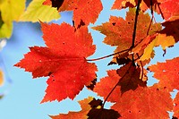 autumn red maple leaves on a tree