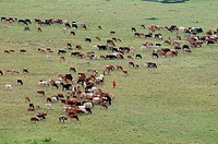 Africa,Kenya, Masai Mara, aerial view of Masai Man watching cattles