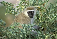 Kenya, Lake Nakuru National Park, Black_faced vervet or green monkey Cercopithecus aethiops