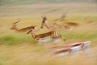 Impalas. , Aepyceros melampus, and Coke´s Hartebeest, Alcelaphus buselaphus cokii, in motion, Masai Mara, Kenya,