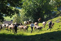 Ceremonial driving down of cattle from the mountain pastures, returning of the cattle to their respective owners, Pfronten, Ostallgaeu district, Allga...