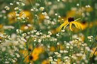 Black_eyed susan Rudbeckia hirta and daisy fleabane Eriger annnuus