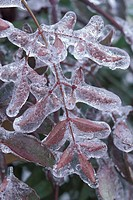 Leaves encased in ice
