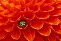Pacific Chorus frog in dahlia. Credit: Dennis Kirkland / Jaynes Gallery / DanitaDelimont.com