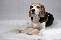Beagle lying on a plush blanket in front of an open book