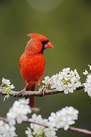 Northern Cardinal (Cardinalis cardinalis), adult male on blooming Mexican Plum (Prunus mexicana), New Braunfels, San Antonio, Hill Country, Central Te...