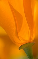 USA, California, Antelope Valley, Close_up of backlit poppy. Credit: Ellen Anon / Jaynes Gallery / DanitaDelimont.com