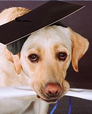 Yellow Labrador Retriever with diploma and graduation cap