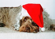 Italian Spinone wearing a Santa Claus hat and glasses