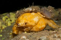 Yellow Sponge Crab camouflages with Sponge, Dromia personata, Cap de Creus, Costa Brava, Spain