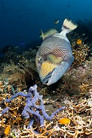 Giant Triggerfish, Balistoides viridescens, Alam Batu, Bali, Indonesia