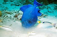 Blue triggerfish Pseudobalistes fuscus searching for food in the sandy bottom, with goatfish and wrasse keeping an eye on any escaping prey  Egypt, Re...