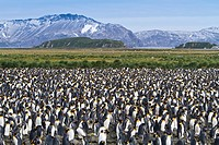 King penguin Aptenodytes patagonicus breeding and nesting colony at Salisbury Plains, Bay of Isles on South Georgia Island, Southern Ocean  MORE INFO ...
