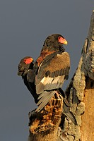 Bateleur (Terathopius ecaudatus), pair in the evening light, Masai Mara National Reserve, Kenya, Africa