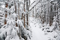 Snow covered forest along the Hancock Loop Trail in the White Mountains, New Hampshire, USA, during the winter months.