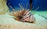 The red lionfish Pterois volitans