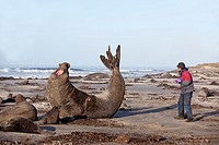 Falkland Islands , Sea LIon island , Southern Elephant Seal  Mirounga leonina.
