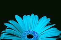 Cyan blue daisy gerbera flower