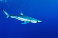 Blue Shark, Prionace glauca, Condor Bank, Faial, Azores, Atlantic Ocean, Portugal