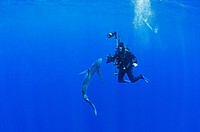 Blue Shark and Underwater Photographer, Prionace glauca, Condor Bank, Faial, Azores, Atlantic Ocean, Portugal