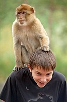 A Barbary Macaque (Macaca sylvanus) sitting on the back of a boy, pulling on his hair