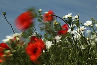 Poppy Papaver rhoeas in the wind, Limburg, Hesse, Germany, Europe