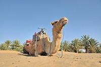 Dromedary (Camelus dromedarius), desert trekking, Erg Chebbi, Morocco, Africa