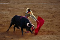Man and bull at a bullfight, Corrida de Toros, Jerez de la Fronere, Cadiz province, Andalusia, Spain, Europe