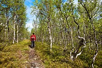 Hiker, birch tree, Lapland, northernd, northern Sweden, Sweden
