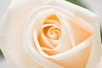 close_up of white rose, macro