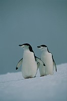 Chinstrap Penguins, Pygoscelis antarctica, Antarctica