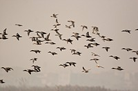 Water birds flying in okhla barrage