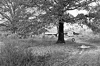 Oak tree with tire swing on a rural farm