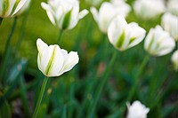 White tulips in the field