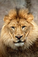 African lion portrait, zoo captive