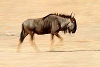 Blue wildebeest Connochaetes taurinus, Kgalagadi Transfrontier Park, Kalahari desert, South Africa