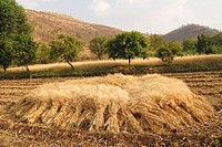 Golden wheat crop harvested in field at Dimba village , District Pune , Maharashtra , India