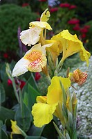 Orchids at botanic garden, Royal Botanic Gardens, Port of Spain, Trinidad, Caribbean, America