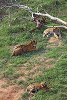 Bengal Tiger and Tigress with cub Panthera tigris in Guwahati zoo , Assam , India