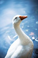 Goose standing in front of water