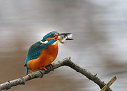 Kingfisher with prey perching on branch
