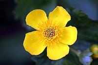 Himalayan wild flower , Dhundi , Manali , Himachal Pradesh , India