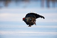 Black grouse Lyrurus tetrix, Tetrao tetrix, cock courting in a snow_covered moor, Sweden, Scandinavia, Europe