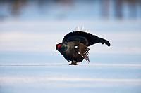Black grouse (Lyrurus tetrix, Tetrao tetrix), cock courting in a snow-covered moor, Sweden, Scandinavia, Europe