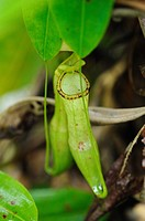 Nepenthes, pitcher plant. Semengoh Wildlife Centre, Sarawak, Malaysia