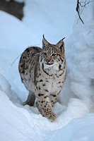Eurasian Lynx (Lynx lynx), cub, running through deep snow, compound, Bavarian Forest National Forest, Bavaria, Germany, Europe