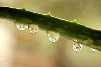 Water drops on aloe Vera plant