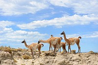 Guanacos (Llama guanicoe), Monte Leon National Park, Rio Gallegos, Patagonia, Argentina, South America