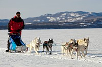Man, musher running, driving a dog sled, team of sled dogs, Alaskan Huskies, frozen Lake Laberge, Yukon Territory, Canada
