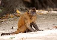 Monkey_nail, Tent Monkeys, Rio Preguiças, Vassouras, Maranhão, Brazil